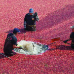 The Cranberry Scare of 1959